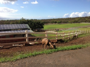 Silly goat, enjoying the views of upcountry Maui. WIth the ample sun on Omaopio, solar panels make sense for the dairy and the distillery!