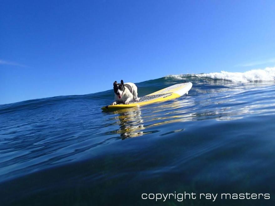 maui dog surfing hawaii