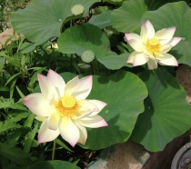 Water Lillies at Maui Nui Farm Stand in Kula