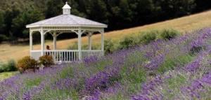 alii.kula.lavender.