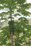 maui papaya plant