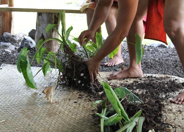 taro harvest maui hawaii