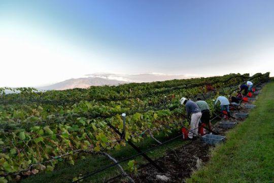 grape harvesting maui winery