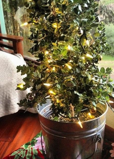 live christmas tree hawaii maui
