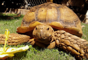 maui humane society tortoise