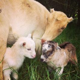 baby.goat.maui